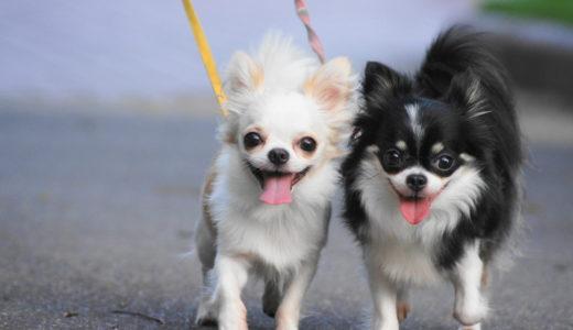 チワワの舌が出る理由は?愛犬が舌を出しっぱなしで心配になった時に注意すべき3つのこと