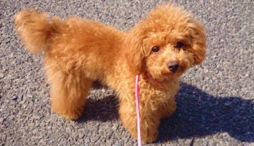 犬はアスファルトでやけどする!?夏のアスファルトの上での散歩には靴が必要?