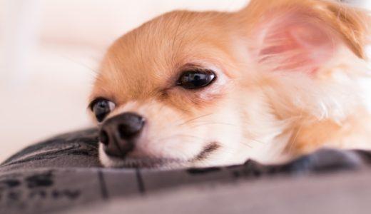 犬が吐く!元気がないときは要注意?透明な液や未消化・茶色黄色で対応が違う!