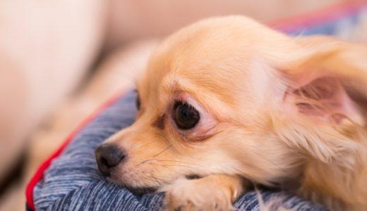 犬に留守番を長時間させるときにはケージから出す?長時間の留守番でトイレを失敗しないためにどうする?
