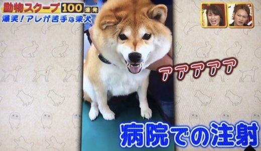 柴犬ハナちゃんの予防注射をイヤイヤ打たれる動画が可愛い!雪遊びや窓から顔を出す動画も!