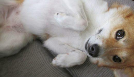 愛犬に生理がこない場合はどんな時?出血しない子もいるって本当?