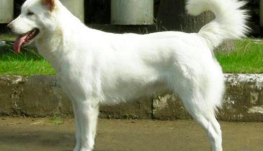 キンタマーニ犬ってどんな性格・犬種なの?チャウチャウの血が混ざっているの?