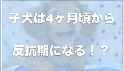 子犬は4ヶ月から反抗期になって噛む!?ご飯を食べない・トイレ失敗の対処法を調査!