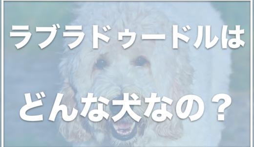 ラブラドゥードルの輸入値段は?異常を持っていることも?成犬の大きさもチェック!